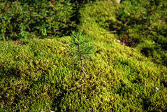 Sprout in moss Royalty Free Stock Photos