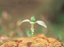 Sprout na terra Fotografia de Stock