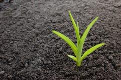Sprout novo Imagens de Stock Royalty Free