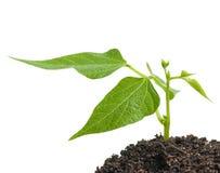 Sprout novo Fotografia de Stock