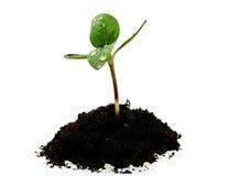 Sprout novo do girassol no solo com gotas Imagens de Stock Royalty Free