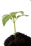 Sprout novo no solo superior Imagens de Stock