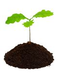 Sprout of oak. Royalty Free Stock Photos