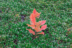 Sprout of oak with red leaves on green bootlicking moss Royalty Free Stock Images