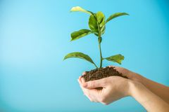 Free Sprout Of New Green Tree In Soil In Human Hands On Blue Background. Concept Of Environmental Protection. Earth Day Royalty Free Stock Image - 115442216