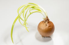 A sprout onion. Bulb on a white background royalty free stock image