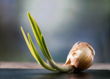 Sprout of onion Royalty Free Stock Images