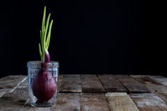 Sprout of onion in water Royalty Free Stock Photos