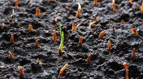 Sprout out of the ground Royalty Free Stock Photography