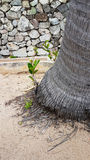 Sprout of palm tree with small palm root on sand. Of the beach Stock Image