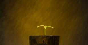 Sprout papaya Royalty Free Stock Photo