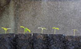 Sprout papaya Stock Images