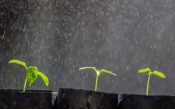Sprout papaya Royalty Free Stock Images