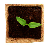 Sprout of pepper Royalty Free Stock Photos
