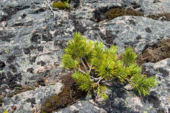 Sprout of pines on stones. Sprout of pines with green needles on pinkish stones of northern sea Stock Photography