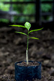 Sprout for planting at the farm Stock Photo