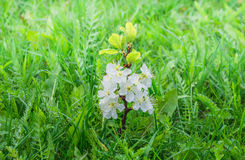 Sprout plum tree with flowers in a green grass Royalty Free Stock Image