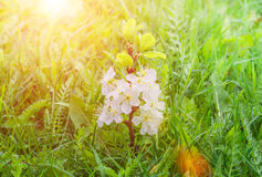 Sprout plum tree with flowers in a green grass Royalty Free Stock Photos