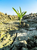 Sprout popping through the dry soil. Royalty Free Stock Image