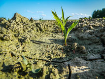 Sprout popping through the dry soil. Royalty Free Stock Photo