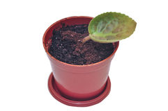Sprout in a pot Royalty Free Stock Images