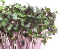 Sprout of purple cabbage Stock Image