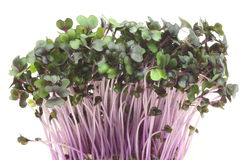 Sprout of purple cabbage Stock Photo