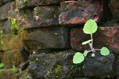 Sprout rising on brick wall Stock Photo