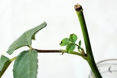 Sprout on rose stem on white background Stock Photo