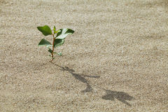 Sprout in the sand. Plant growing in the sand adapted to the hot climate Royalty Free Stock Photo