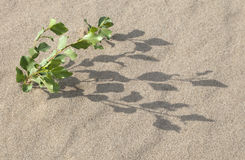 Sprout in the sand. Plant growing in the sand adapted to the hot climate Stock Image