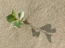 Sprout in the sand. Plant growing in the sand adapted to the hot climate Royalty Free Stock Image