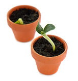 Sprout in small pot Stock Image