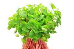 Sprout of the soba Royalty Free Stock Photos
