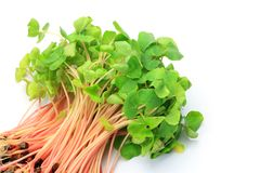Sprout of the soba Royalty Free Stock Image
