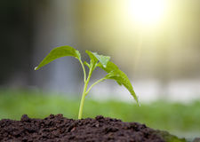 Sprout in soil Stock Image