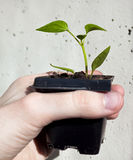 Sprout in soil in hand Royalty Free Stock Image