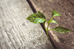 Sprout sprouting across the wooden floor Stock Images