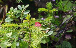 Sprout of a spruce and a wild lingonberry shrub Royalty Free Stock Photo