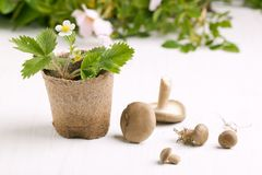 Sprout of strawberry and mushrooms Stock Image