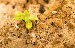 A sprout of sunflower in the ground in nature.  royalty free stock photography