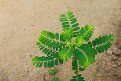 Sprout tamarind2. The sprout tamarind is growing from its seed on the ground in the rainy season Royalty Free Stock Images