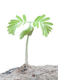 Sprout of tamarind tree Stock Image