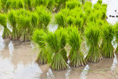 Sprout, Thai Rice field Royalty Free Stock Photo