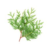 Sprout of thuja or arborvitae isolated on white background. Sprout of thuja or arborvitae isolated on white Royalty Free Stock Photo