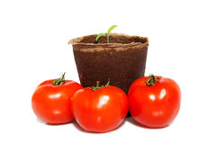 sprout of tomato and the same vegetables Stock Photo