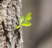 Sprout on tree bark Royalty Free Stock Photos