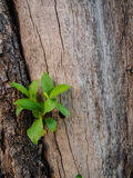 Sprout on the tree. Sprout grow on the tree bark Royalty Free Stock Photography