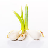 Sprout of tulips. The sprout of tulips in spring Stock Photography