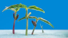 Sprout of vegetables for preparing Royalty Free Stock Images